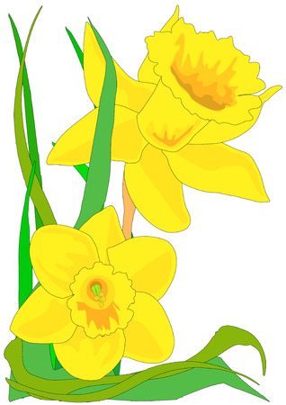 Vector illustration of two narcissus daffodils with green leaves.