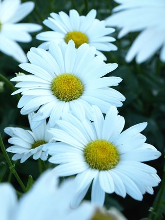 Background image of Daisies growing in a garden in the early summer.