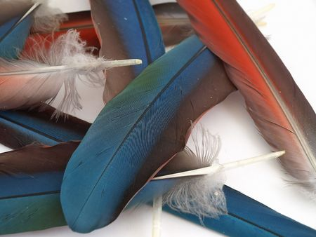 Blue and red feathers from a Green Wing Macaw. Isolated over white. Stock Photo