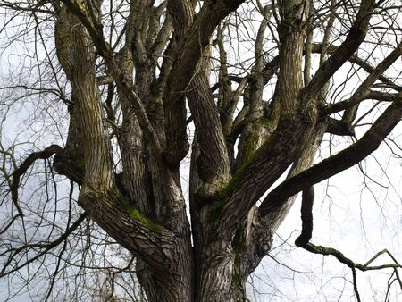 salix alba: An old gnarled tree with tangled branches in winter. Stock Photo