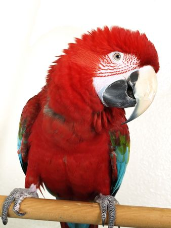 A Green Wing Macaw in profile against a white background.