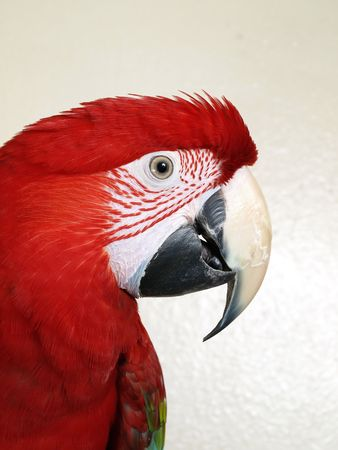 Green Wing Macaw in profile against a white textured background. Stock Photo