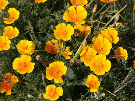 Gorgeous yellow and orange Mexican Poppy flowers growing wild alongside the road in Oregon.  Mexican Poppy (Eschscholtzia californica)