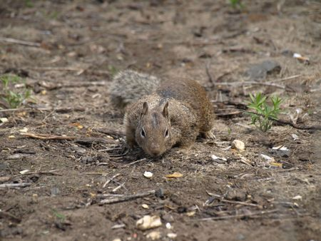 A grey digger squirrel approaches, staying close to the ground as it moves toward some peanuts on the ground.
