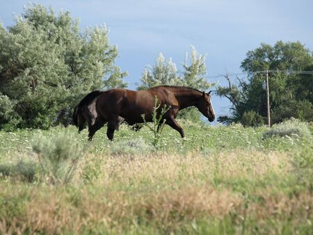 A brown horse walking in a brush filled field on a hot summer day. Another horse stops to eat in the background.