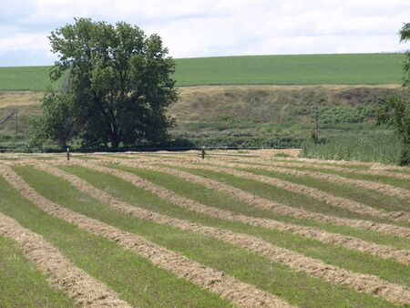 Fields freshly cut, hay stacked in neat little rows like a grid on a field, ready to be bailed.