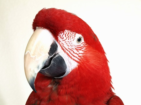 Portrait of a Green Wing Macaw Parrot.