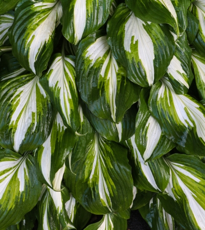 Hosta plant with it wonderful deep green leaves and a splash of white on them  photo