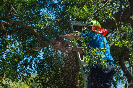 Man up a ladder trimming some branches of a tree with a chainsaw. Stock Photo