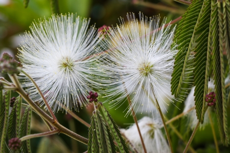 White fluffy seed heads with yellow bits on its outer tips.
