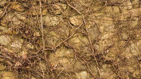 Wall with vines grown over it in winter time. Stock Photo