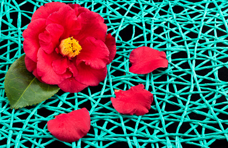 Nice bright red camellia flower on a string net.