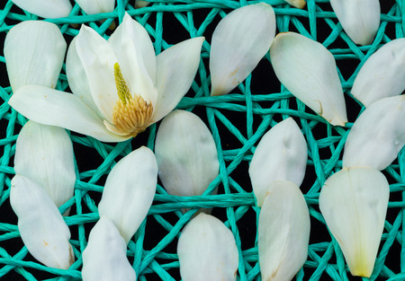 White Magnolia flower open up and on a string net.