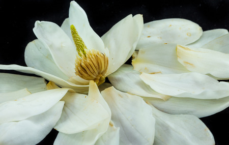 Magnolia flower that has been opened up to show the inside part.