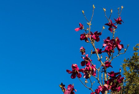 Blooming Magnolia tree with a winter clear blue sky. Stock Photo