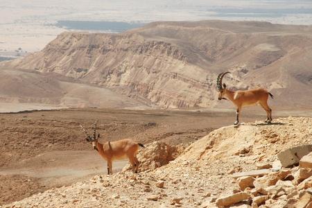 Dwa ibexes na klifie w Ramon krateru ust Makhtesh Ramon) w Pustyni Negev w Izraelu.