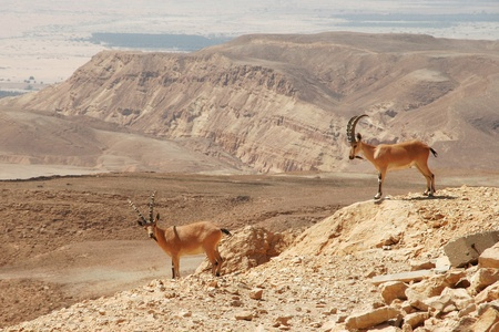 craters: Two ibexes on the cliff at Ramon Crater (Makhtesh Ramon) in Negev Desert in Israel.