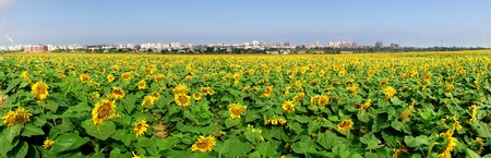 Panoramic view on rural field with yellow sunflowers in Israel. photo