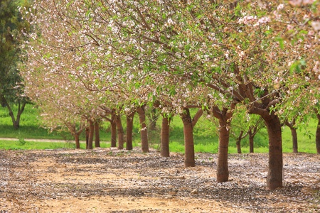 israel agriculture: Trees with flowers in the garden at spring.