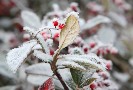 rime frost: Red berries on the leaf covered by rime frost in Piedmont, Northern Italy.