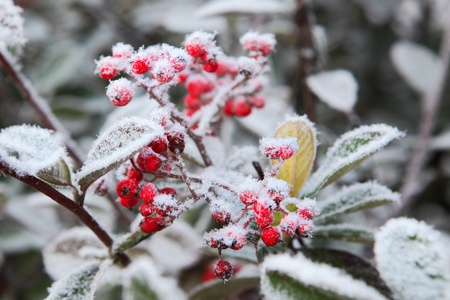 rime frost: Red berries covered by rime frost. Piedmont, Northern Italy.
