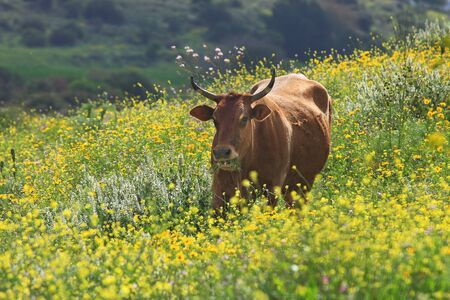 Brown cow stands on the field among yellow flowers and chews grass Stock Photo - 12958430