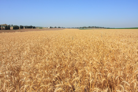 israeli: Horizontal oriented image of wheat field ready for harvesting under blue sky in Israel