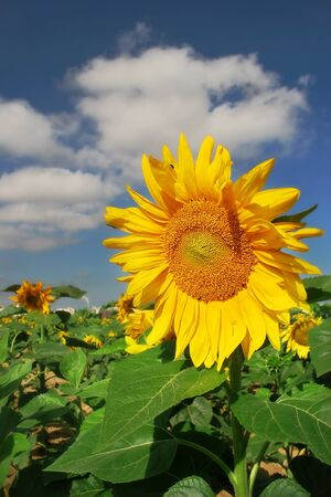 Vertical oriented image of yellow sunflower on the field under blue sky with white clouds. photo