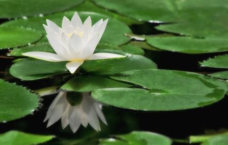 lirio acuatico: Lirio de agua blanco entre las hojas verdes en la superficie del estanque en el jardín botánico. Foto de archivo