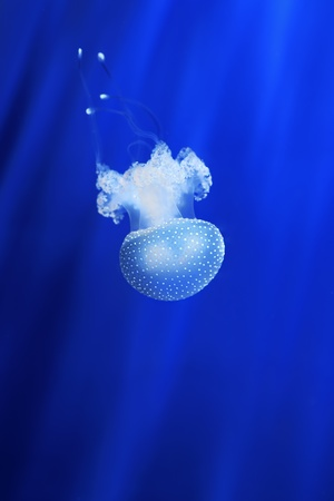 Vertical oriented image of beautiful white jellyfish in the water on blue background in Genova aquarium, Italy  photo