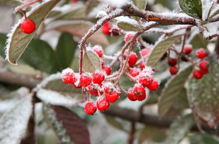 rime frost: Red berries covered by rime frost on bush Piedmont, Northern Italy  Stock Photo