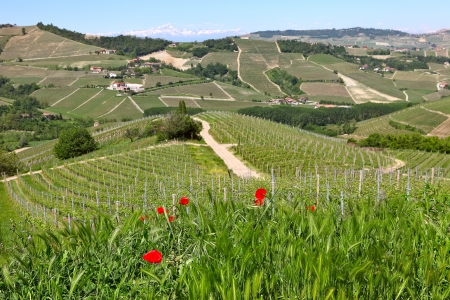 Red poppies among green grass as hills and vineyards of langhe on background at spring in Piedmont, Italy  photo