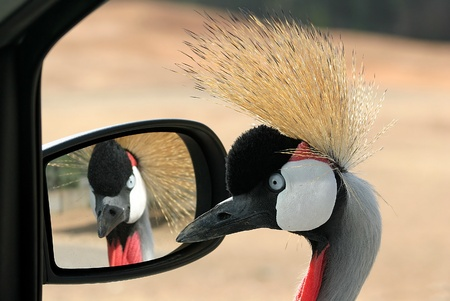bird of israel: Closeup image of crowned cane looking in to the car mirror in Safari park, Israel