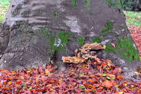 racconigi: Mushrooms grow near at the bottom of tree trunk on ground covered with fallen red leaves in autumn  Stock Photo