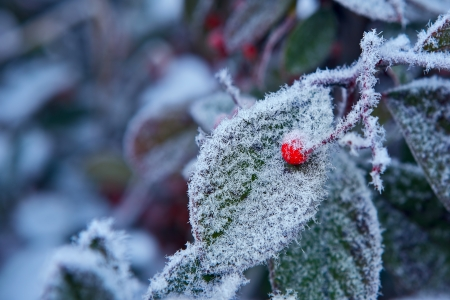 Red berry on green leaf covered with rime frost