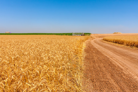 israel agriculture: Country road between rural fields with ripe wheat under blue sky in Israel  Stock Photo