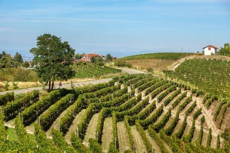 Albero sulla stretta strada rurale e verde dei vigneti sulle colline in Piemonte, Italia settentrionale