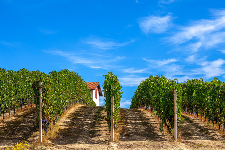 Green vineyards in a row under blue sky in Piedmont, Northern Italy  photo