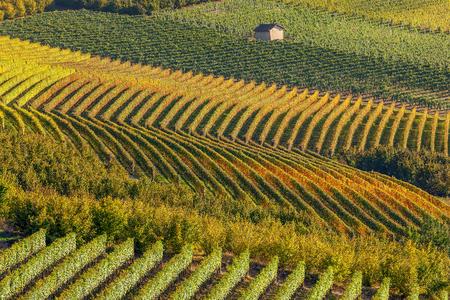 viñedo: Fila de los viñedos en otoño a contraluz en Piamonte, norte de Italia. Foto de archivo