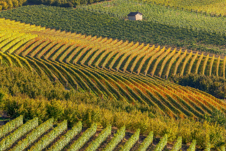 piedmont: Row of  backlit autumnal vineyards in Piedmont, Northern Italy.