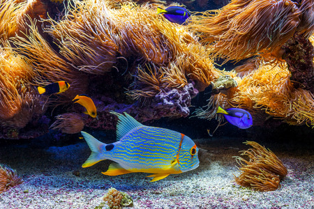 Colorful tropical exotic fishes swimming among reefs with anemones.