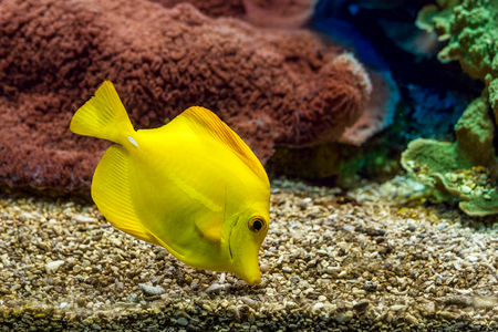 oceanographic: Yellow tang searching for food on the gravel bottom in saltwater aquarium of Monaco Oceanographic Museum. Stock Photo