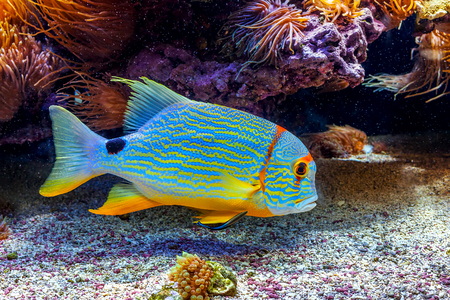 under: Colorful tropical exotic fish swimming among reefs close to the bottom.