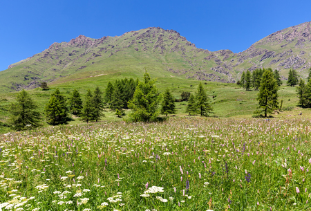 Green fields with flowers as mountains on background under blue sky near Colle delle Finestre in Piedmont, Northern Italy. Stock Photo