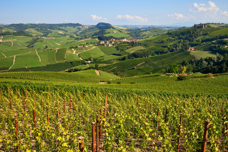 Green vineyards on the hills in Langhe area of Piedmont region in Northern Italy.