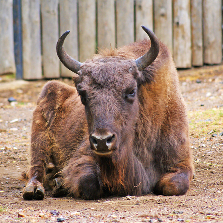laying forward: Aurochs laying on ground looking forward Stock Photo