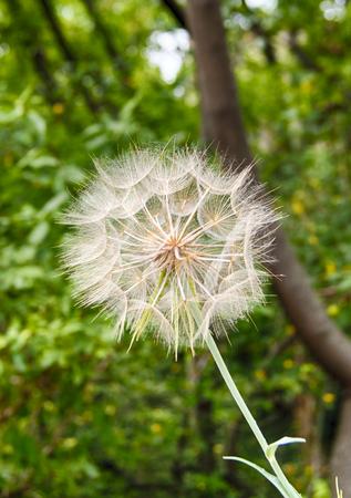 Big blowball flower closeup