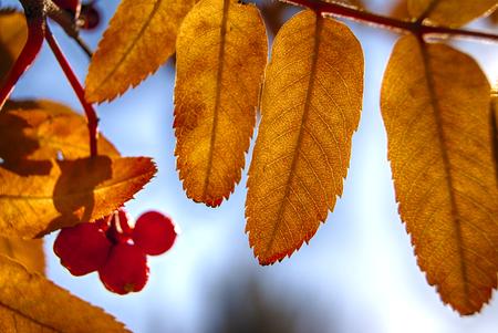 rowanberry: Yellow rowanberry leaves autumn sunny day
