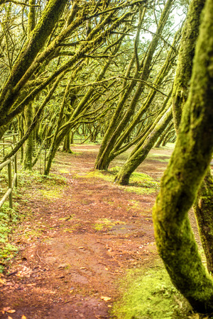 evergreen forest: Evergreen forest in Garajonay national park on La Gomera island in Spain