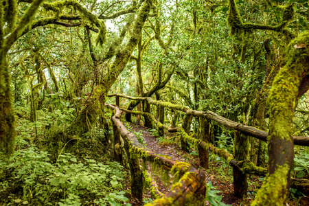 tropical evergreen forest: Evergreen forest in Garajonay national park with tourist footpath on La Gomera island in Spain